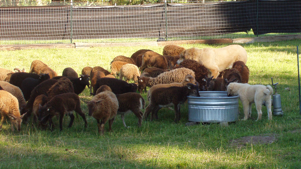 Livestock guardian dog and Soay sheep at the stock tank