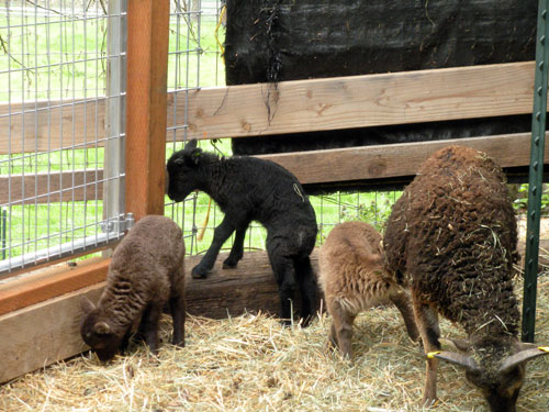 Soay Sheep and lambs