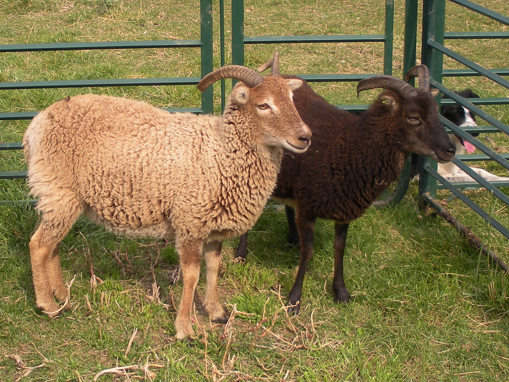 two yearling Soay ewes