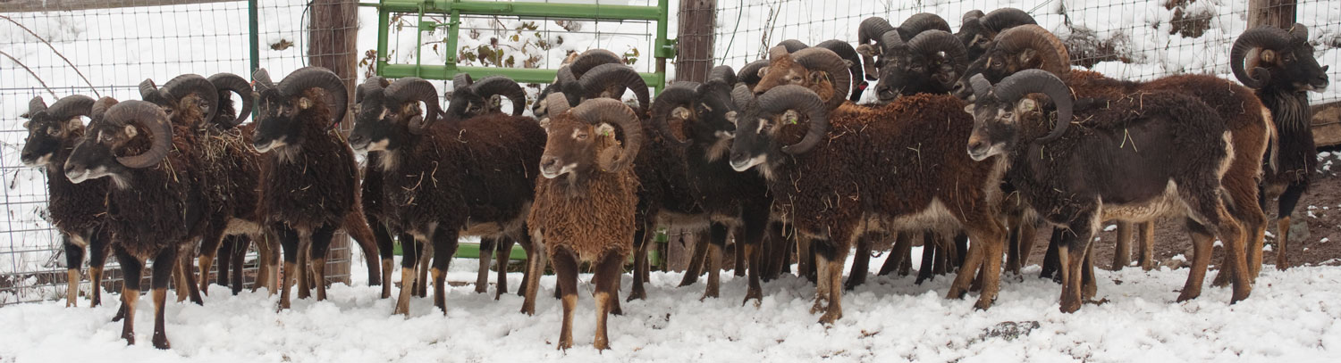 Soay Rams in the snow