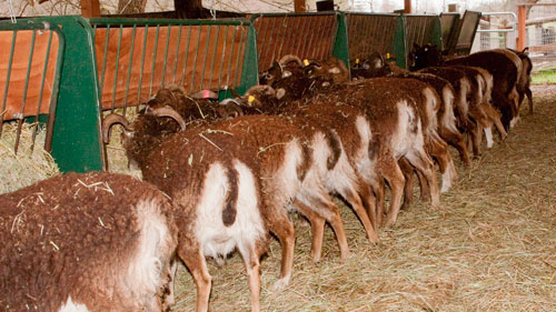 British soay ewes at the feeder