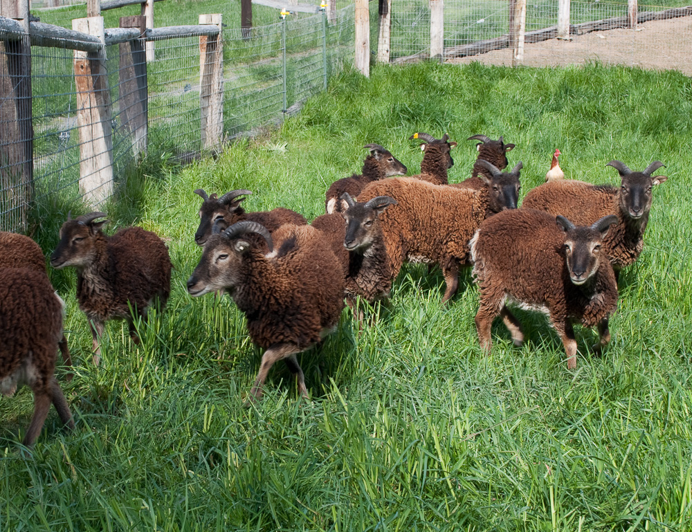 British Soay Ewes