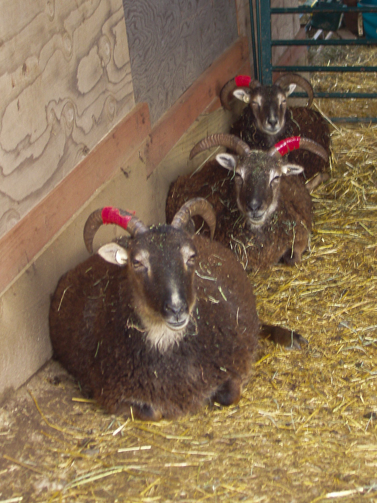 Three very pregnant Soay ewes chewing their cuds