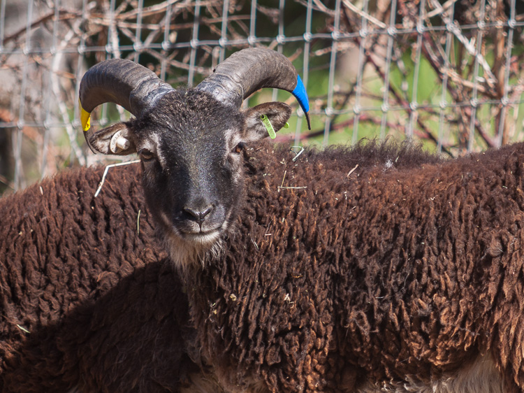 Yearling Soay ram