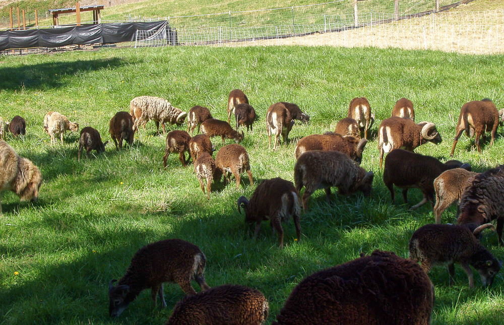 Rams in an open pasture