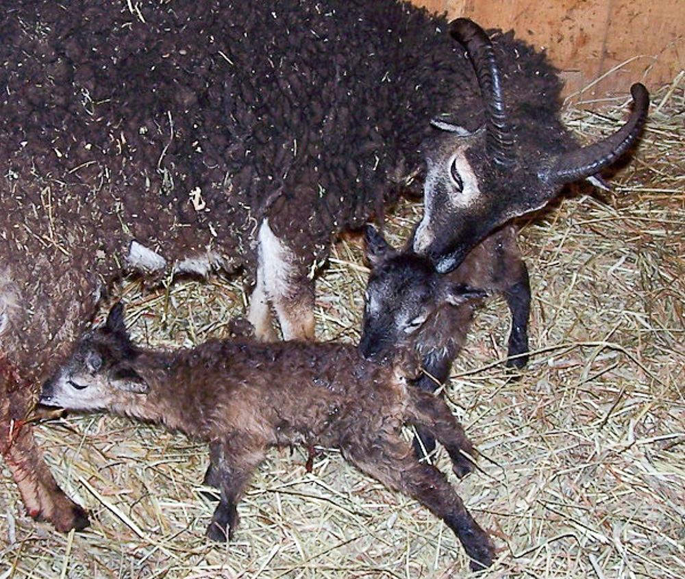 Soay ewe with lambs